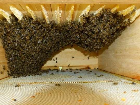 Bienenvolk nach Entnahme der Waben. (© Foto: geisibee.de)