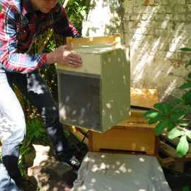 Einlaufen lassen eines Bienenschwarms (© Fotos: Florian Berghausen)