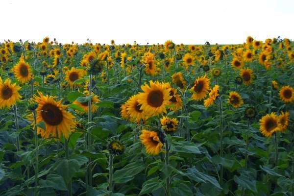 img/hero-sonnenblumen.jpg
