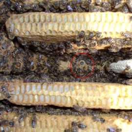 Hier muss man schon genau hinschauen (Bienen mit dem Smoker zurücktreiben!): Eine Königinnen-Larve, die im weißen Futtersaft (Gelee Royal) schwimmt.
