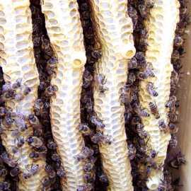 Sog. Spielnäpfe - sie werden von den Bienen immer zur Schwarmzeit angelegt, unabhängig davon ob sie tatsächlich bald schwärmen werden.