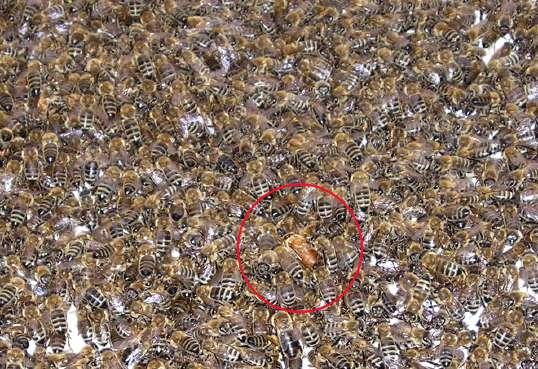 Königin im Strom der einlaufenden Bienen. (c) by http://wbk.in-berlin.de