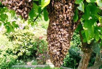 Bienenschwärme